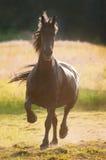 Black horse in sunset golden light. Portrait Stock Photography