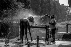Black Horse Taking a Bath on a Ranch. Black Horse Taking a Hose Shower, on a very hot day stock photo