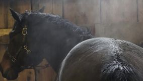 Black horse after training in arena. Wet fur of a Friesian horse. Steam horse beauty and nice black horse stock footage