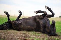 Black horse. Trakehner black stallion in spring field Royalty Free Stock Photography