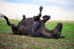 Black horse. Trakehner black stallion in spring field Stock Image
