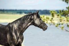 Black horse walking Stock Photography