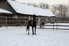 Black horse walking in the paddock on a village farm stable stock photos