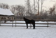 Black horse walking in the paddock on a village farm stable royalty free stock photos