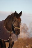 Black horse in warm rug in winter Stock Photography