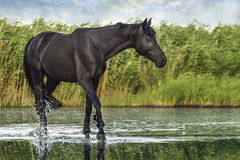 Black horse on the water. On a background of grass stock photo
