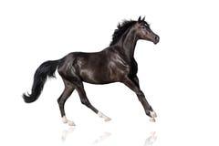 Black horse on white. Beautiful black stallion run gallop on white Stock Photos