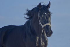 Black horse with a white blaze running. On a background of dark blue sky Royalty Free Stock Photo