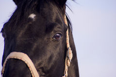 Black horse with a white blaze standing Stock Photo