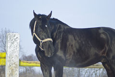 Black horse with a white blaze standing in a paddok. Near the fence Stock Images
