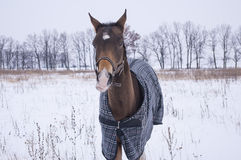 Black horse with a white blaze standing in a snowy field Stock Photography