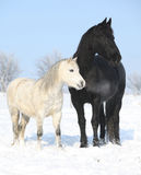 Black horse and white pony together stock photography