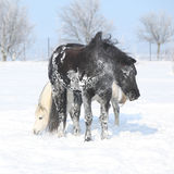Black horse and white pony together Stock Photo