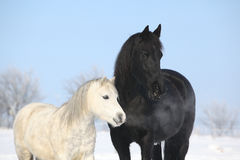 Black horse and white pony together Royalty Free Stock Photos