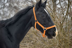 Black horse with a white stripe Stock Image