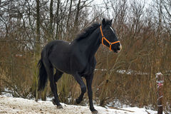 Black horse with a white stripe Royalty Free Stock Image