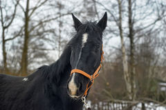 Black horse with a white stripe Royalty Free Stock Images