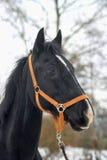 Black horse with a white stripe Royalty Free Stock Photos