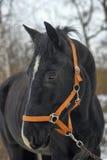 Black horse with a white stripe Stock Photos