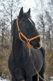 Black horse with a white stripe Stock Photo