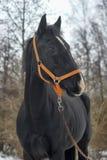 Black horse with a white stripe Stock Photo