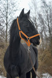 Black horse with a white stripe Royalty Free Stock Photography