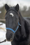 Black horse with a white stripe Stock Photography