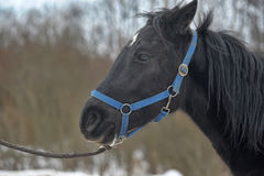 Black horse with a white stripe Royalty Free Stock Photo