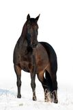 Black horse in winter Stock Images