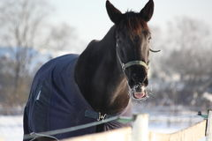 Black horse in winter coat Stock Photo