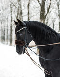 Black Horse in Winter. In Forest Royalty Free Stock Images