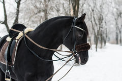 Black Horse in Winter. In Forest Stock Image