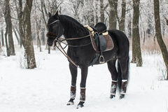 Black Horse in Winter. In Forest Stock Photos