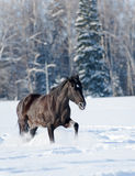 Black horse in winter Royalty Free Stock Image