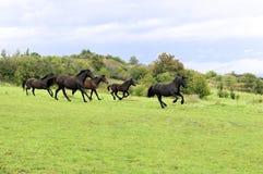 Black horses Royalty Free Stock Image