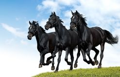 Black horses. Gallop in a floor Royalty Free Stock Image