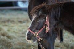 Black horses on a farm eating hay royalty free stock photos