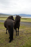 Black horses on a field cleaning each other Royalty Free Stock Photography