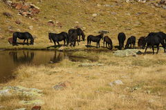 Black horses grazing at pond Royalty Free Stock Photos
