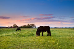 Black horses on pasture at sunrise Royalty Free Stock Photo