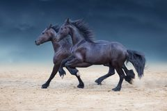 Black horses run stock photos