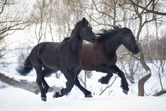 Black horses running gallop in winter forest Stock Photos
