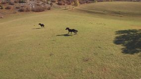 Black horses running on the grassy field stock footage