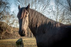 Black horses stand on a meadow and look into the camera stock photos