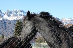 Black horses Stock Photo