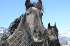 Black horses Stock Photography