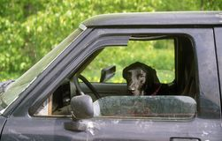Black hound dog in window of truck Royalty Free Stock Photos
