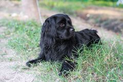 A black American water hound. A black hound lay in the grass royalty free stock images