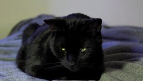 Black House Cat Resting stock video footage