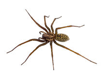 Black House spider isolated on white Stock Photography